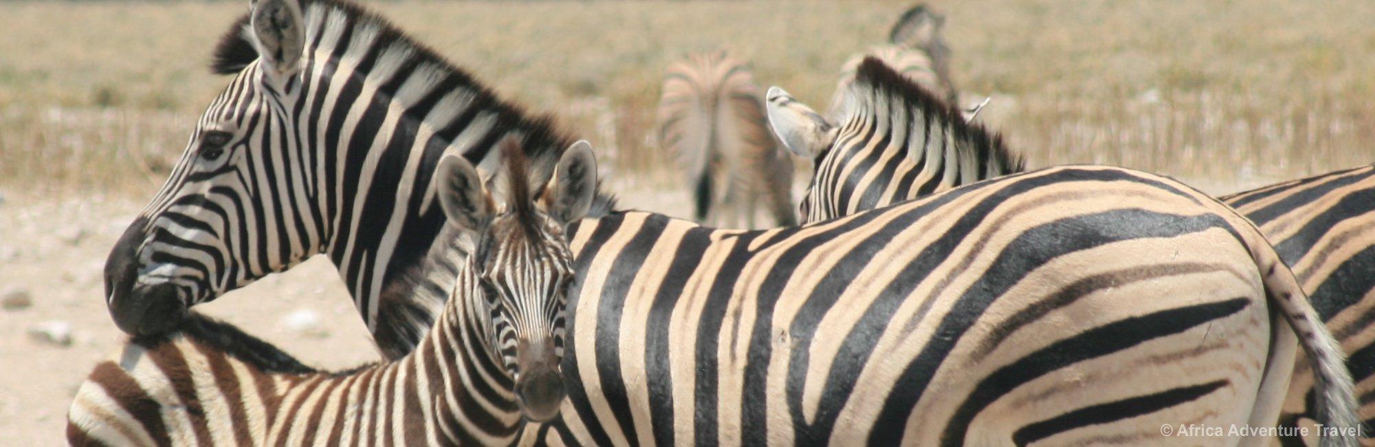 etosha-zebra.jpg